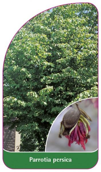 Parrotia persica, 68 x 120 mm