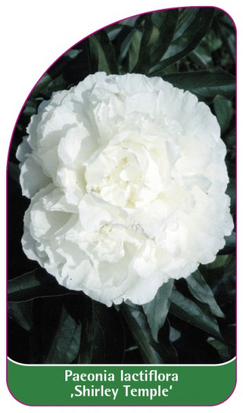 Paeonia lactiflora ,Shirley Temple', 68 x 120 mm