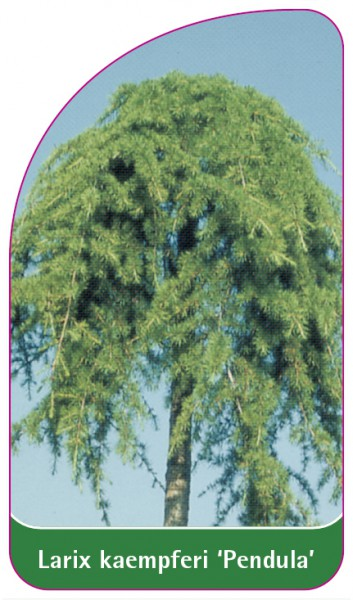 Larix kaempferi 'Pendula', 68 x 120 mm
