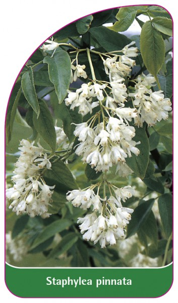 Staphylea pinnata, 68 x 120 mm