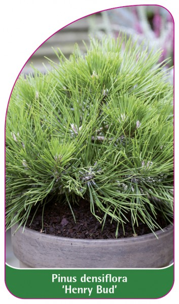 Pinus densiflora 'Henry Bud', 68 x 120 mm