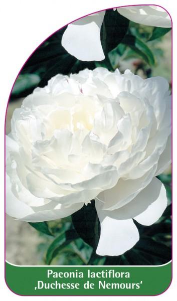 Paeonia lactiflora ,Duchesse de Nemours', 68 x 120 mm