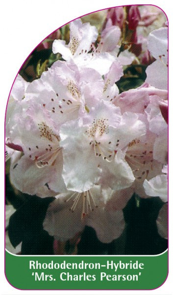 Rhododendron-Hybride 'Mrs. Charles Pearson', 68 x 120 mm