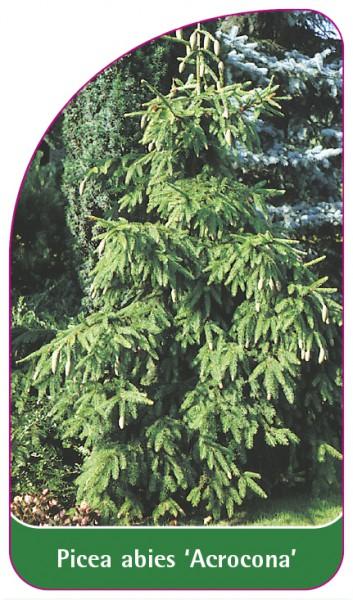 Picea abies 'Acrocona', 68 x 120 mm