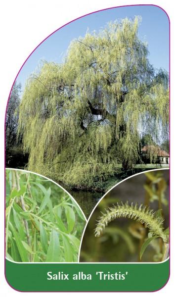 Salix alba 'Tristis', 68 x 120 mm