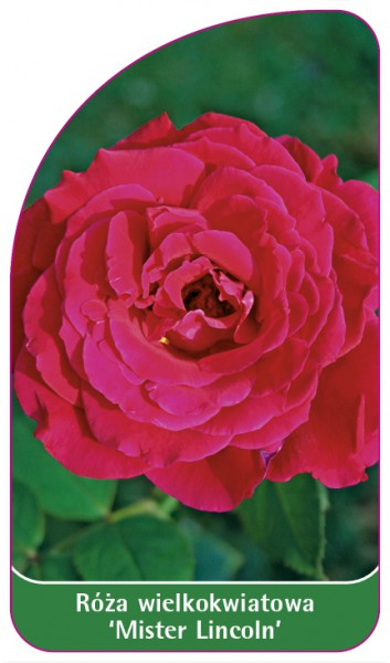 Róza wielkokwiatowa 'Mister Lincoln' Nr. 541, 68 x 120 mm