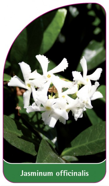 Jasminum officinalis, 68 x 120 mm