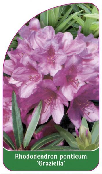 Rhododendron ponticum 'Graziella', 68 x 120 mm