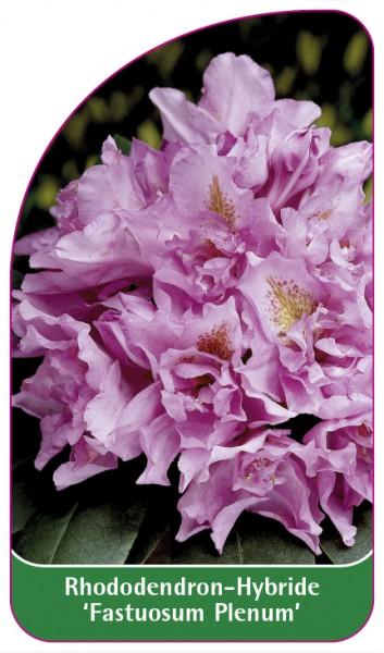 Rhododendron-Hybride 'Fastuosum Plenum', 68 x 120 mm