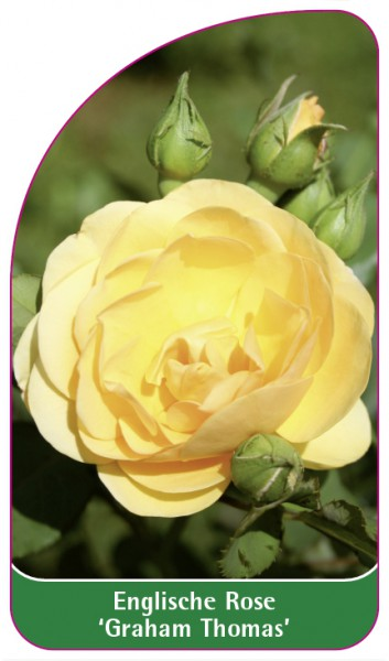 Englische Rose 'Graham Thomas', 68 x 120 mm