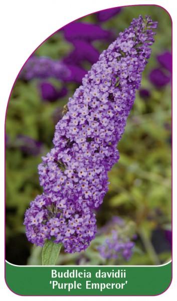 Buddleia davidii 'Purple Emperor', 68 x 120 mm