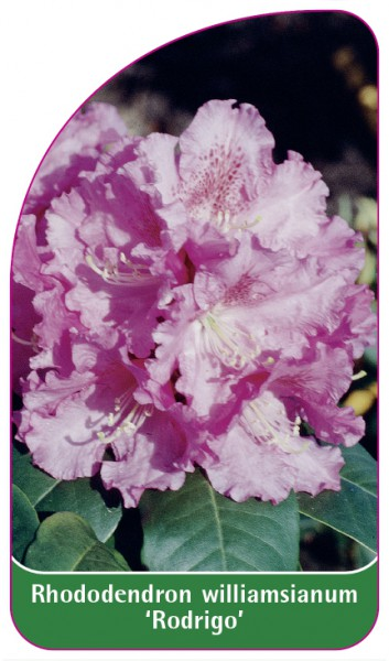 Rhododendron williamsianum 'Rodrigo', 68 x 120 mm