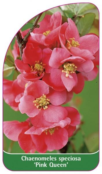 Caenomeles speciosa 'Pink Queen', 68 x 120 mm