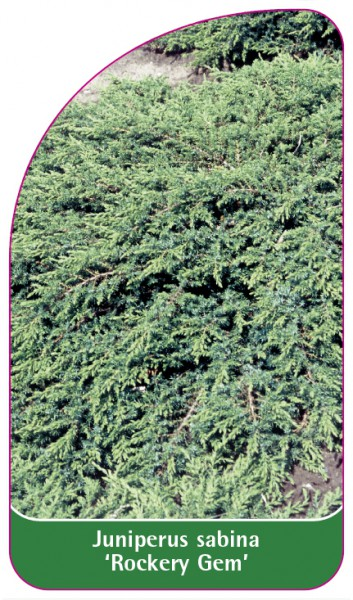 Juniperus sabina 'Rockery Gem', 68 x 120 mm