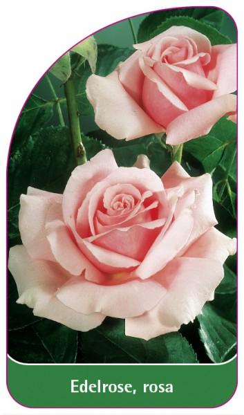 Edelrose , rosa, 68 x 120 mm
