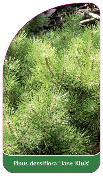 Pinus densiflora 'Jane Kluis', 68 x 120 mm