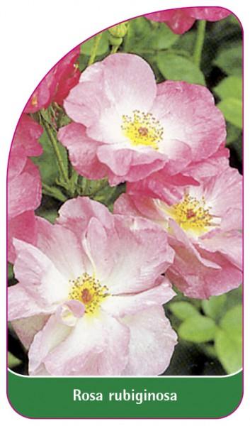Rosa rubiginosa, 68 x 120 mm