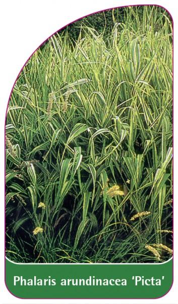 Phalaris arundinacea 'Picta', 68 x 120 mm