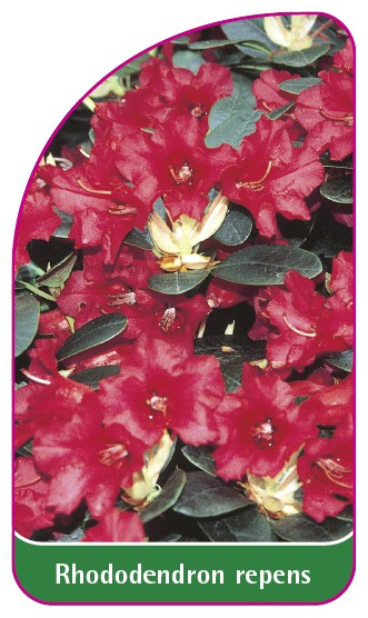 Rhododendron repens, 52 x 90 mm