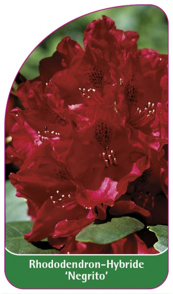 Rhododendron-Hybride 'Negrito', 68 x 120 mm