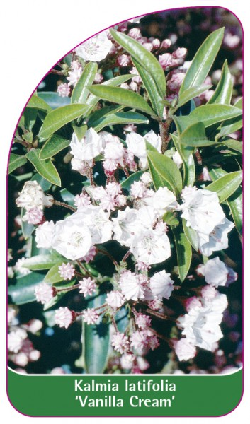 Kalmia latifolia 'Vanilla Cream', 68 x 120 mm