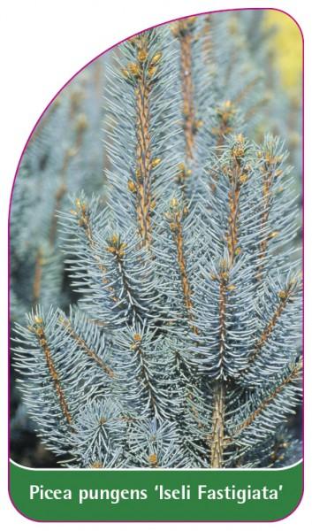 Picea pungens 'Iseli Fastigiata', 68 x 120 mm