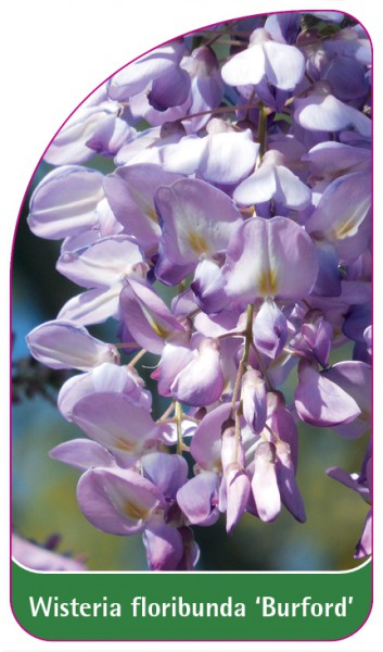 Wisteria floribunda 'Burford', 68 x 120 mm