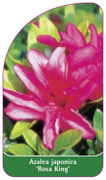 Azalea japonica 'Rosa King', 68 x 120 mm