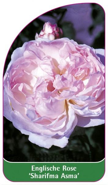 Englische Rose 'Sharifma Asma', 68 x 120 mm