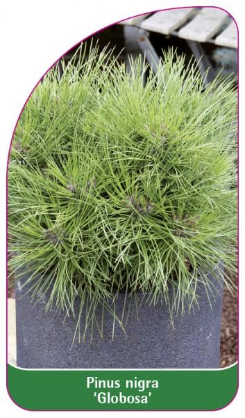 Pinus nigra 'Globosa', 68 x 120 mm