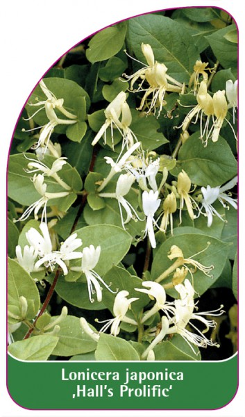 Lonicera japonica 'Hall's Prolific'', 68 x 120 mm