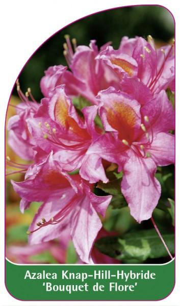 Azalea Knap-Hill-Hybride 'Bouquet de Flore', 68 x 120 mm