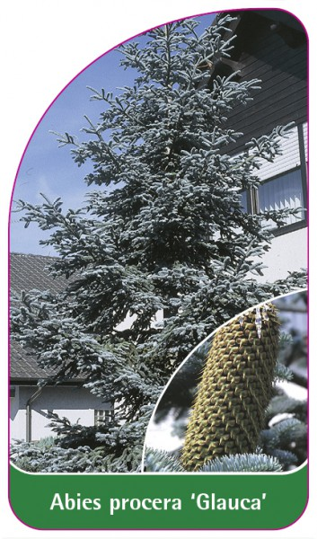 Abies procera 'Glauca', 68 x 120 mm