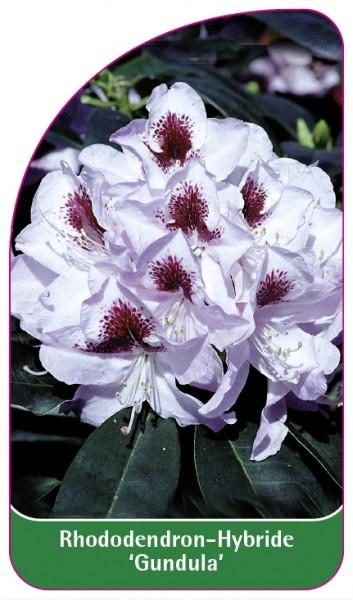 Rhododendron-Hybride 'Gundula', 68 x 120 mm