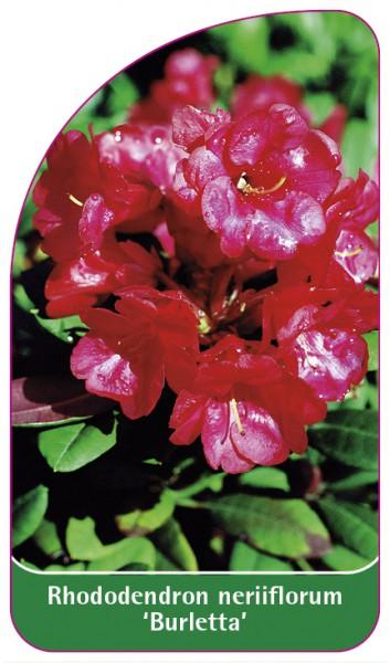 Rhododendron neriiflorum 'Burletta', 68 x 120 mm