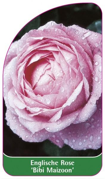 Englische Rose 'Bibi Maizoon, 68 x 120 mm