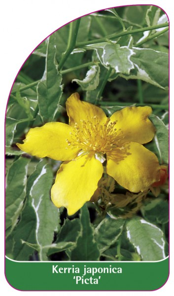 Kerria japonica 'Picta', 68 x 120 mm