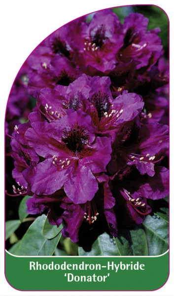 Rhododendron-Hybride 'Donator', 68 x 120 mm