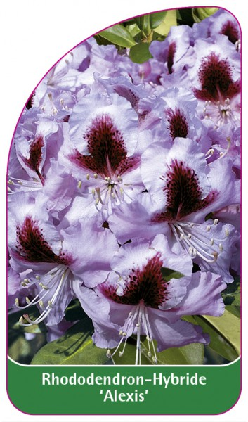 Rhododendron-Hybride 'Alexis', 68 x 120 mm