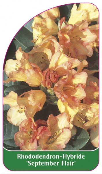 Rhododendron-Hybride 'September Flair', 68 x 120 mm