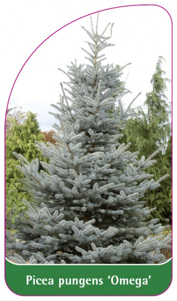 Picea pungens 'Omega', 68 x 120 mm