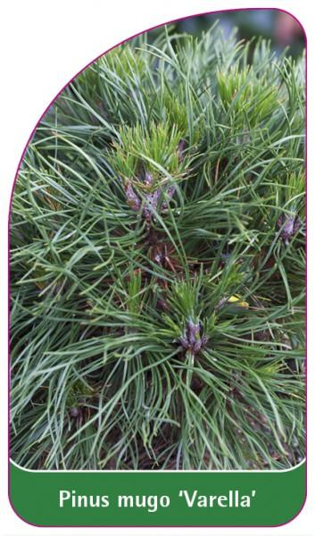 Pinus mugo 'Varella', 68 x 120 mm