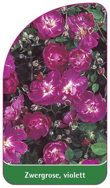 Zwergrose, violett, 68 x 120 mm