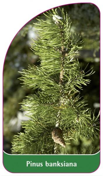 Pinus banksiana, 68 x 120 mm