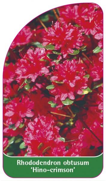 Rhododendron obtusum 'Hino-crimson', 68 x 120 mm