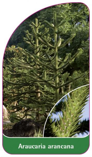 Araucaria arancana, 68 x 120 mm