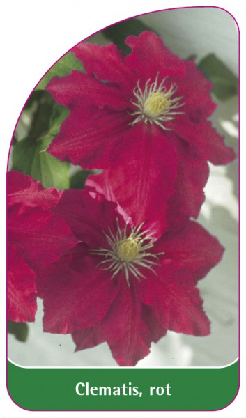 Clematis, rot, 68 x 120 mm