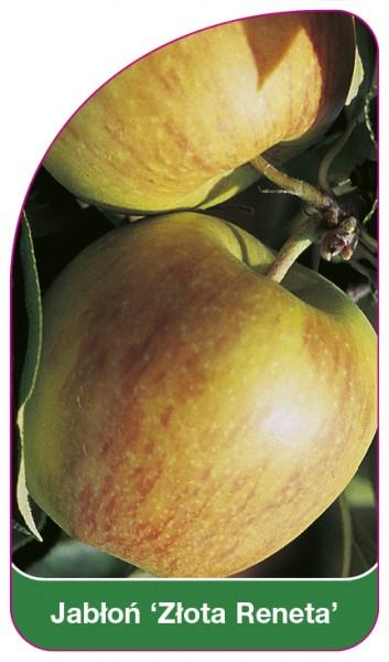 Jabłoń 'Złota Reneta', 68 x 120 mm