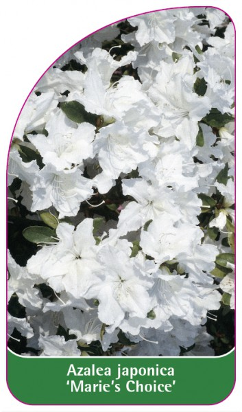Azalea japonica 'Marie's Choice', 68 x 120 mm