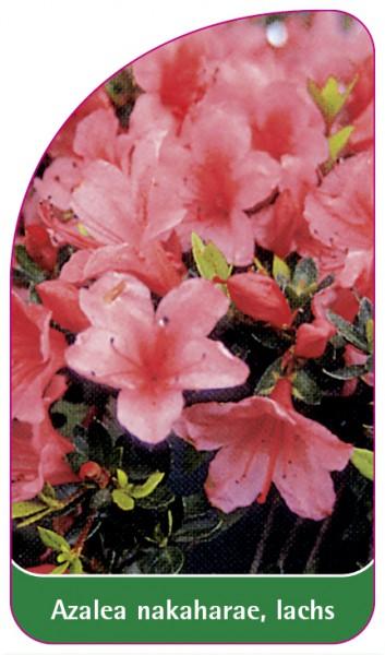 Azalea nakaharae, lachs, 68 x 120 mm